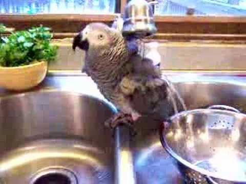 SHOWERING AN AFRICAN GREY
