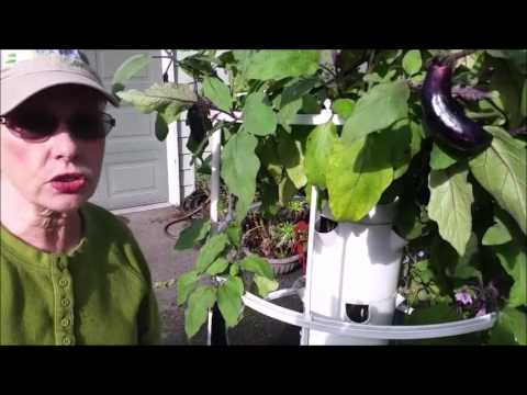 Aphids on Tower Garden Eggplants