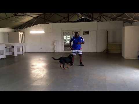 Ecollar Training on a Rottweiler.