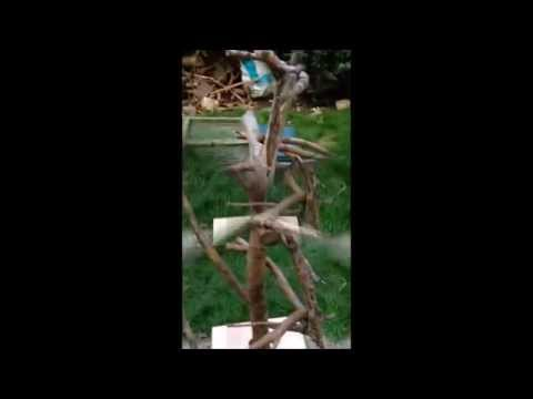 DIY: How to make a natural wood Parrot Perch / Climbing Tree / Stand