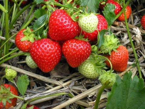Planting Strawberries in a Raised Bed