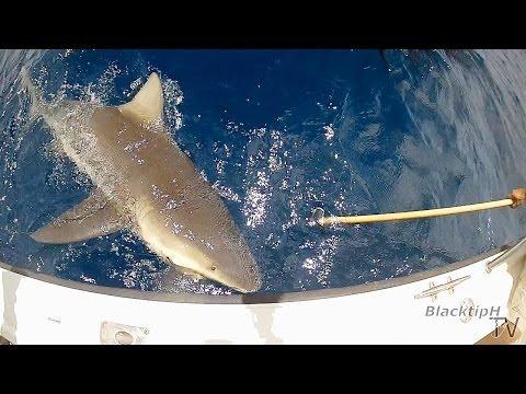 Giant Deep Sea Bull Shark