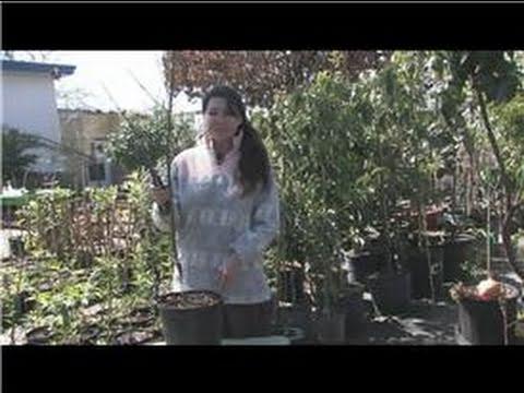 Fruit Trees : How to Trim Cherry Trees