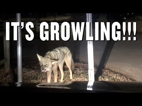Family confronted by rabid coyote