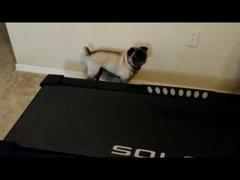Izzy Pug Searches For Crumbs