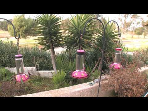 30 minutes! 3 Hummingbird Feeders Before Sunset! (in HD)