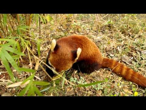 Red Pandas Eating Bamboo - WAY BETTER than Sliced Bread