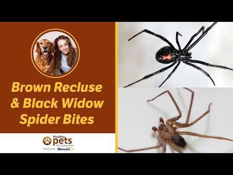 Dr. Becker on Brown Recluse & Black Widow Spider Bites