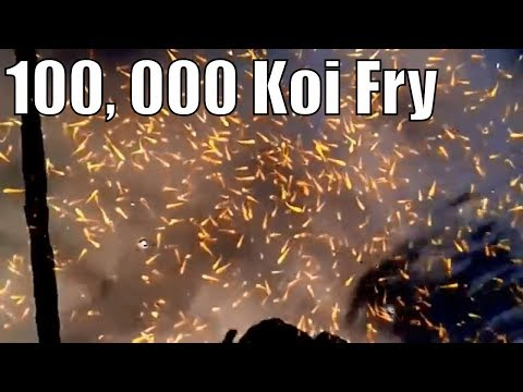This is what 100,000 Koi fry that a Female koi fish lay will make you awe!