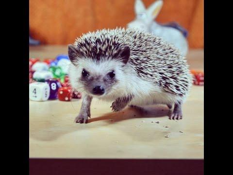 How to feed a hedgehog.