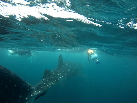 Scuba Diving with a Whale Shark and Dolphin watching in Cancun Mexico Whale Shark Discovery Tour HD
