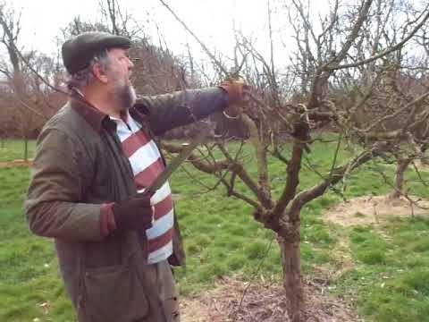 Apple tree pruning renewal style