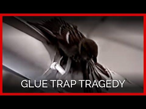 Glue Trap Tragedy