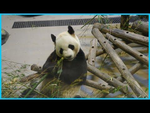 Toronto Zoo: Is Toronto Zoo panda pregnant?