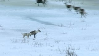 Wolf hunts caribou - Nature