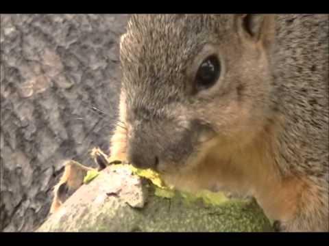 Squirrel loves avocados