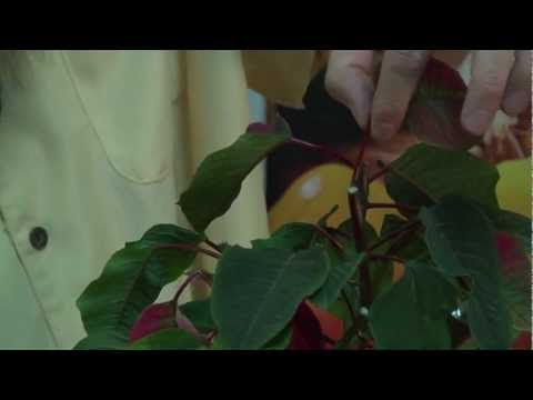 How to make a Poinsettia bloom anytime