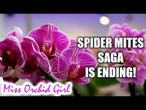 How I control spider mites in my Orchid collection - Simple!