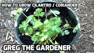 How To Grow Cilantro Coriander Greg The Gardener