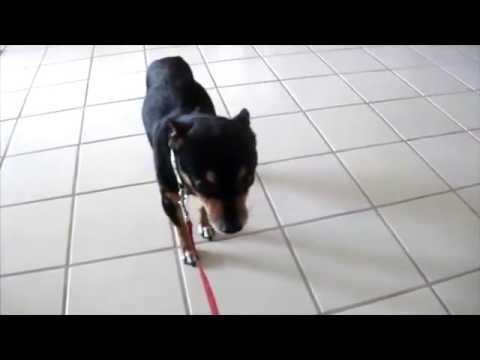Shelter Foster Dog Mickey with kennel cough