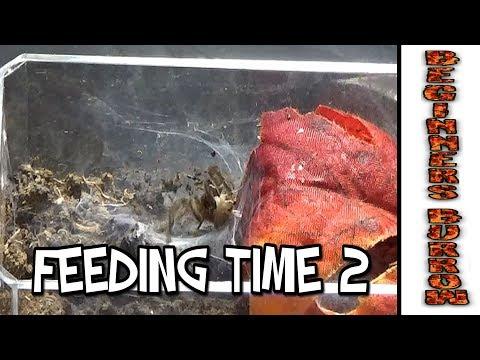 Tarantula Feeding 2 - Beginners Burrow