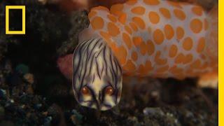 This Sea Slug Eats Its Own Kind   National Geographic
