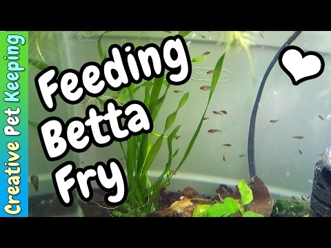 How to feed BABY BETTA FISH   Fish Fan Friday VLOG