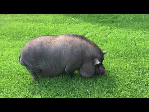 What Petunia the pot belly pig like to eat?