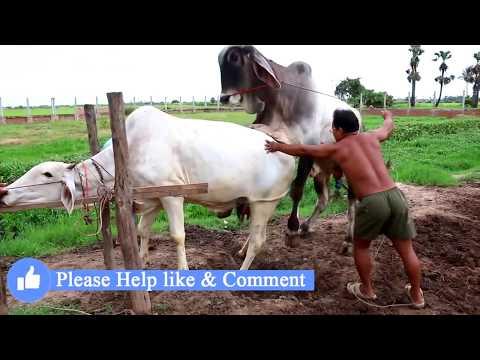 Xxx Mp4 Live Stream How To Breds Cows In Cambodia Amazing Man Breeds Cows ការបង្កាត់ពូជសត្វគោ Wild Animal 3gp Sex