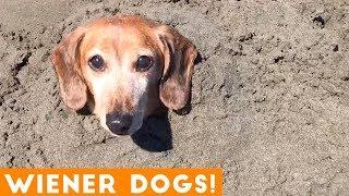 Funniest Dachshund Wiener Dog Compilation 2019 | Funny Pet Videos