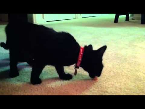 Cat plays with food