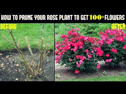 Do This And Get 500% More Flowers On Your Rose Plants (With Updates)