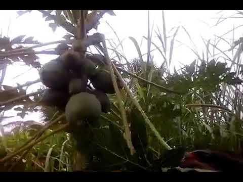 Making Papaya Leaves Soap(part 1)