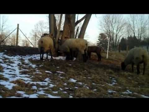 Metal Detecting! Attacked by Sheep!