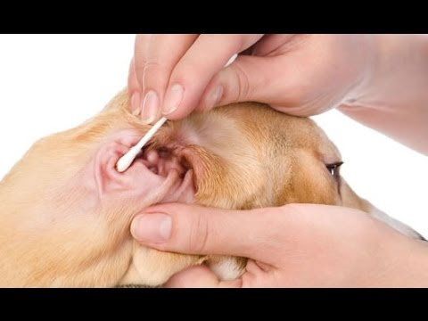 Home Remedies for Dog Ear Infections