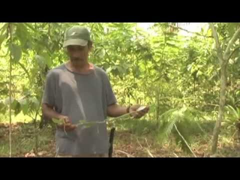 How to plant and grow vanilla