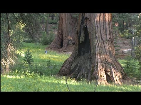 The Giant Trees of Yosemite National Park