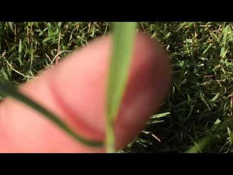 Zoysia grass identification by Shawn Schutte