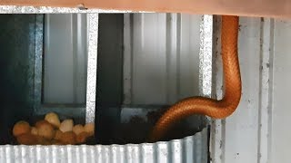 Collecting Eggs with a DEADLY SNAKE in the Nesting Boxes