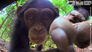 Robotic Spy Tortoise Makes Friends With Cheeky Chimps