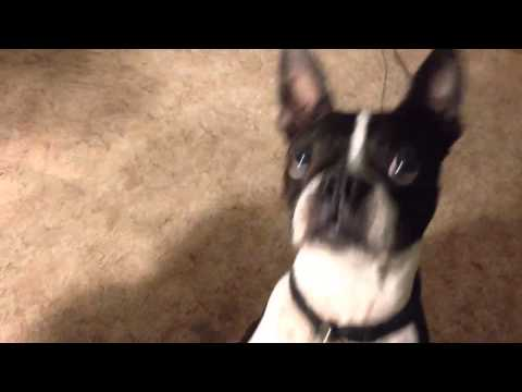 Sunny the boxer & scooter the Boston terrier dogs doing tri