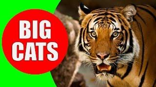 BIG CATS for Children - Tiger, Lion, Jaguar, Leopard, Cheetah, Puma - Learn Big Cats of the World
