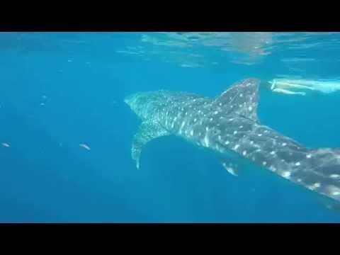 Nado con el Tiburón Ballena en Isla Mujeres - Holbox 2017