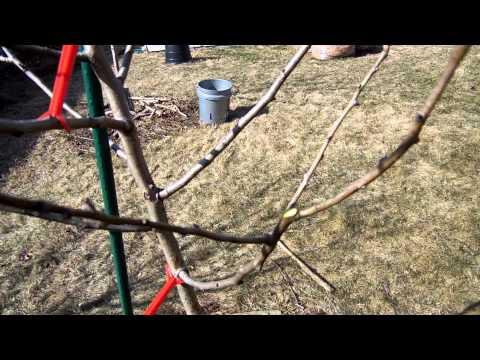 Best way to prune dwarf pear trees