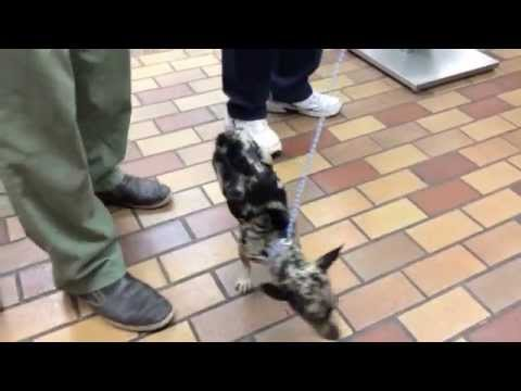 unbelievable injured dog who walks on front paws