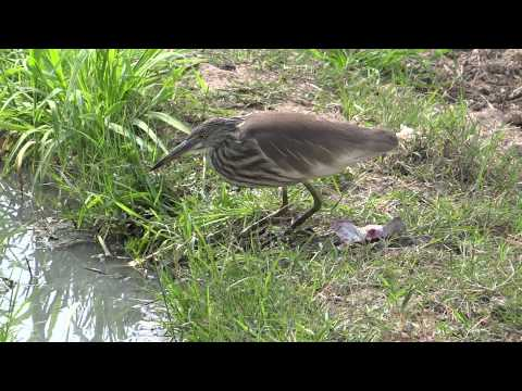 Bird searching insects in a water on Green Natural Grass 17 Feb 2013 Cholistan Bahwalpur Pakistan