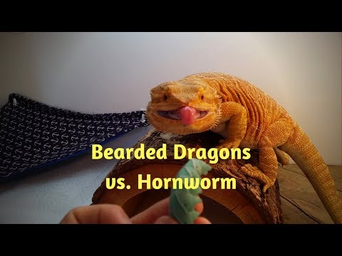 Bearded Dragon Owners // Blaze & Sedona vs. Hornworm.