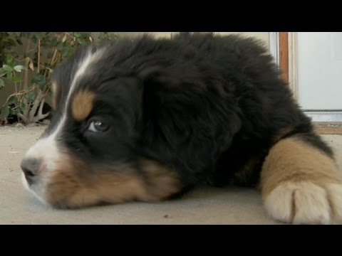 Bernese Mountain Dog Puppy Plays Tug Of War With The Camera Microphone