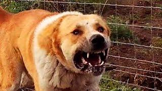 Guarding Beasts 07 Dagestan import in Hungary - охрана чудовище