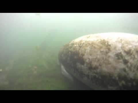 Swimming with a Baby Manatee
